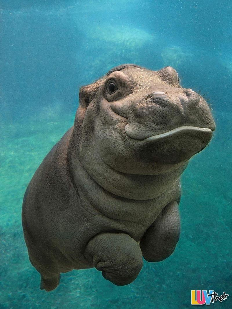 Baby Hippopotamus underwater