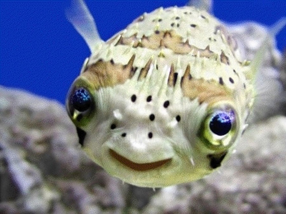 cute_puffer_fish_02.jpg